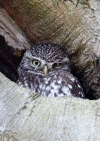 Little Owl by Albi748