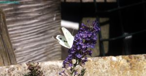 White butterfly by IamNasher