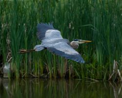 Blue Heron 3 by GavinTheBard