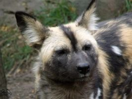 African Wild Dog 3 by FiatLupi