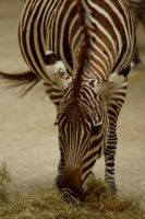 Happy Zebra by MicWits101