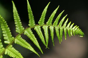 Fern appreciation 1 by ratofthelab