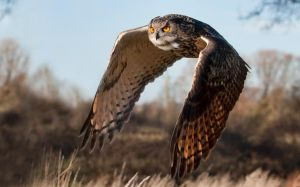 Flight of the Eagle Owl by mansaards