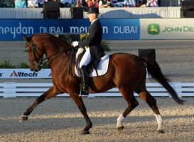WEG Bay Warmblood Gelding 001 by diamonte-stock