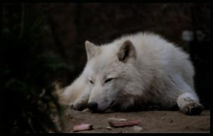 wolf: afternoon siesta by morho