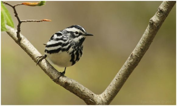 Black-and-white Warbler by Ryser915