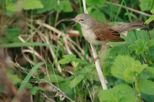 ...whitethroat... by Ulliart