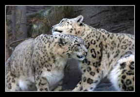 2 Snow Leopards by psycho-firby