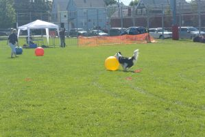 2014 Dog Festival, Treiball Session 7 by Miss-Tbones