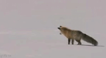 Fox Hunting In The Snow GIF by PinK-Sugar-T-e-a