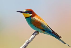 Hello Gorgeous - European Bee-eater by Jamie-MacArthur