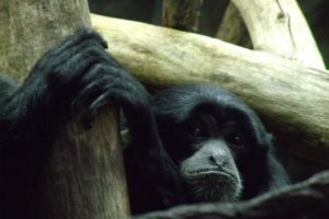 Siamang by pokemontrainerjay