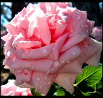 Pink Rose 3 by enigma-tyck