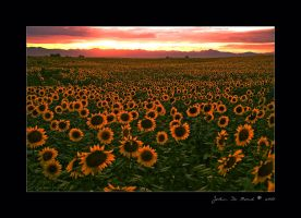 Sunflower Sundown by kkart
