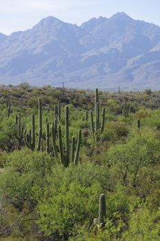 Saguaro forest.Arizona by avydenver