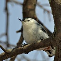 A Nuthatch portrait by masscreation