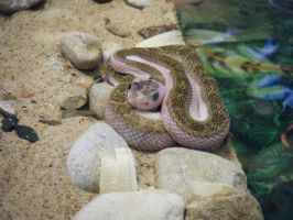 Pink Rattlesnake 01 by ManitouWolf