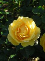 Roses - 2 by shapu