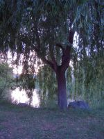 Weeping Willow Stock 2 by SimplyBackgrounds