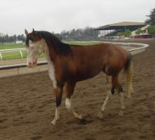 Trotting Paint --tackless-- by rachellafranchistock