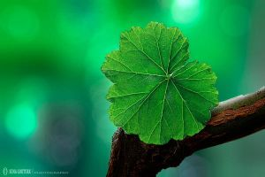 The Green Leaf by pacificdreams