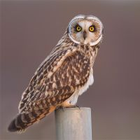 Who, who are you ? - short-eared owl by Jamie-MacArthur