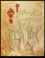 Study: The Torso / Trunk 2 by Shockowaffel