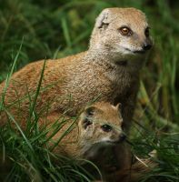 Baby mongoose by Sabbie89