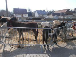 The fair of Blangy sur Bresle: Donkeys and Goat by Alicetiger
