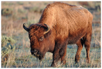 American Bison by Pinedrop