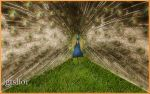 Peacock by Lior-Art