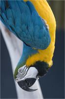 Blue-and-gold Macaw 3 NZ10708 by hoboinaschoolbus