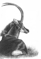 Sable Antelope by Flowerlark