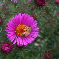 Bee on flower by Ranae490