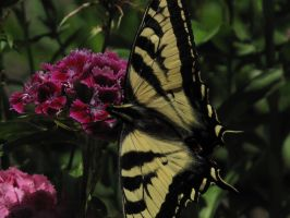 My front yard Butterfly 8 by Fallonkyra