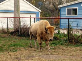 White Buffalo 4 by JewelsStock