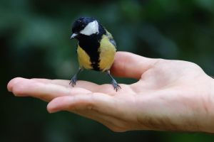 A Great tit on my hand (Parus major) by luka567