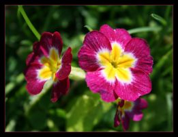 A primrose for Corky - May 08 by pearwood