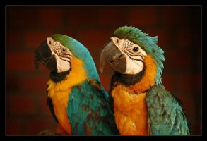2 Parrots by ranmor