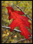 One Red Oak Leaf by Mogrianne