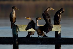 Cormorant Gang by bovey-photo
