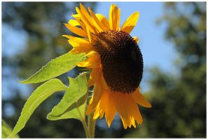 Sun Flower by Claudia008