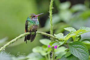 Rufous-tailed by mydigitalmind