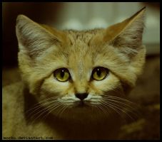 sand cat by morho