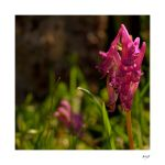Orchis mascula by amiejo