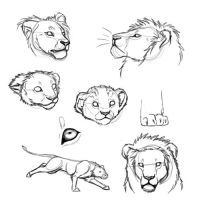 Lion study by Torrentpelt