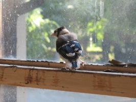 Fledgling Blue Jay Stock 4 by Oddstuffs