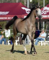 STOCK - 2014 Arabian Challenge-27 by fillyrox