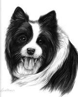 Collie Dog Pencil Pet Portrait by LouiseMarieFineArt