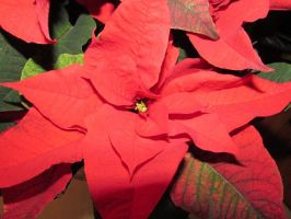 Poinsettia by LexCorp213